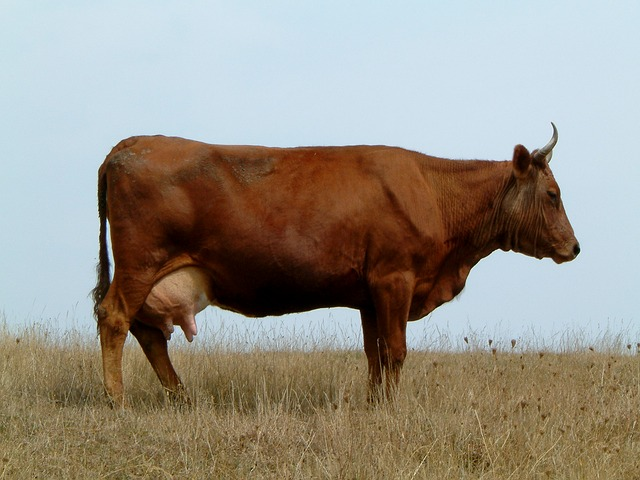 Brown cows don't produce chocolate milk.